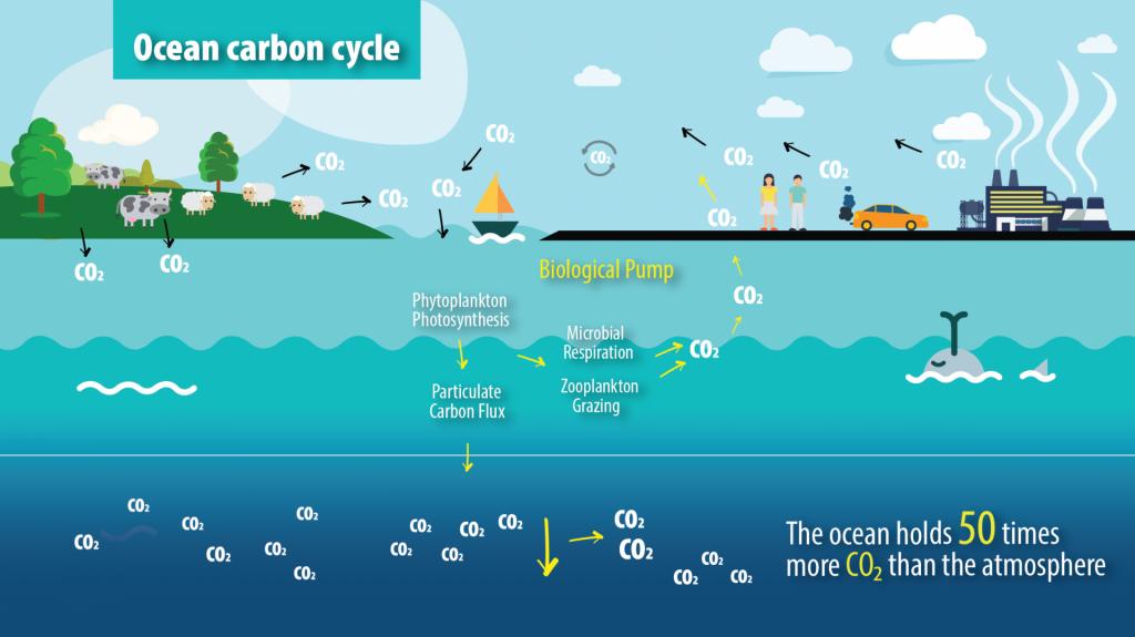 ocean carbon cycle